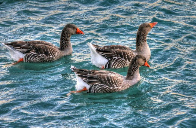 geese-210656_1280